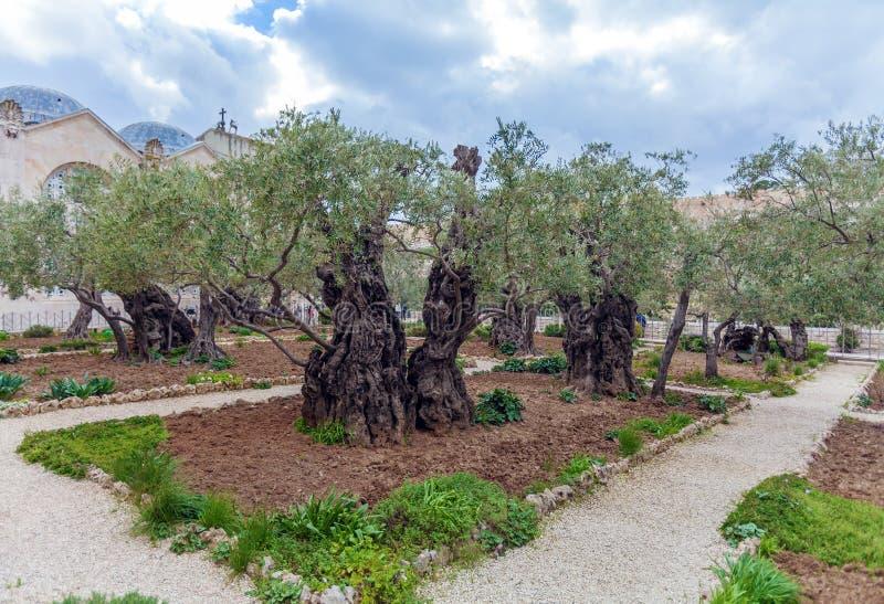 Gethsemane trädgård på Mount of Olives, Jerusalem, Israel arkivbild