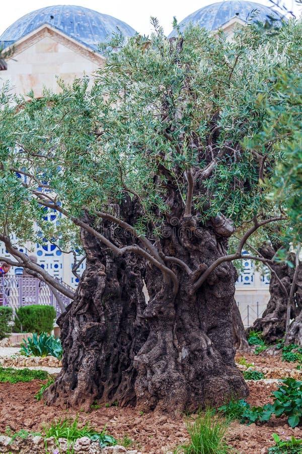 Gethsemane trädgård på Mount of Olives, Jerusalem, Israel arkivbilder