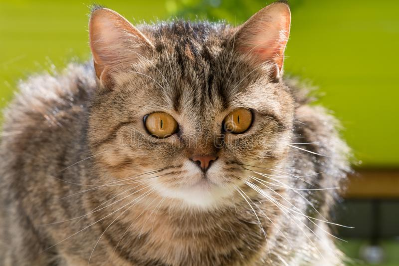 Brown tabby cat on balcony. Looking to the camera royalty free stock photos