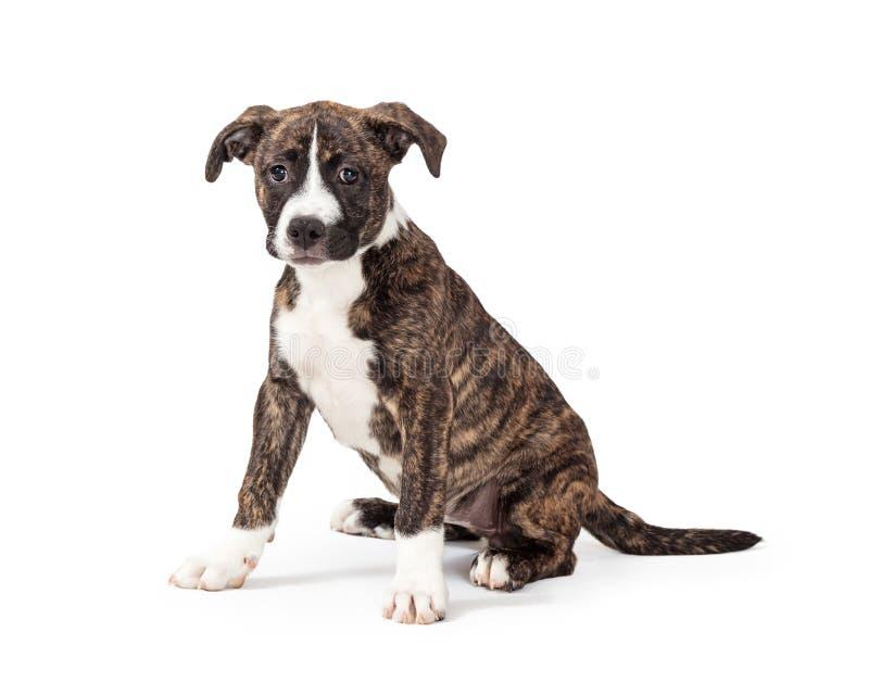 Getijgerd en wit Pit Bull Puppy Sitting op Wit royalty-vrije stock afbeelding