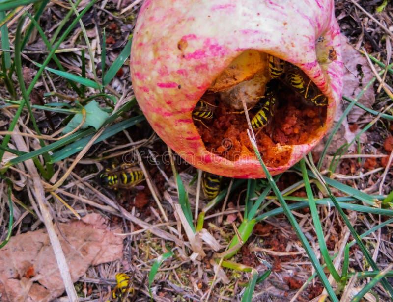 Getingar äter äpplen som ligger på grönt gräs royaltyfria foton