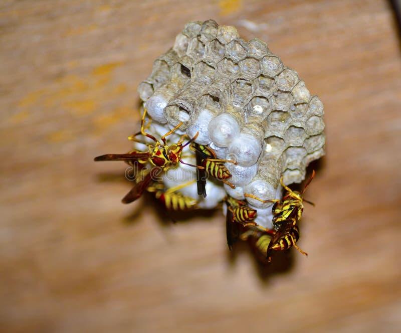 Getingar för gult omslag arkivfoto