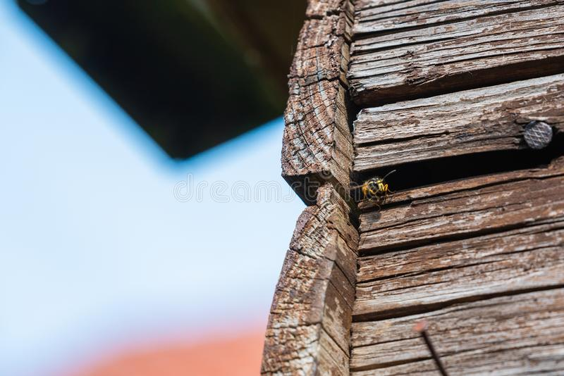 Getingar flyger in i deras rede bak gamla träpaneler royaltyfri bild