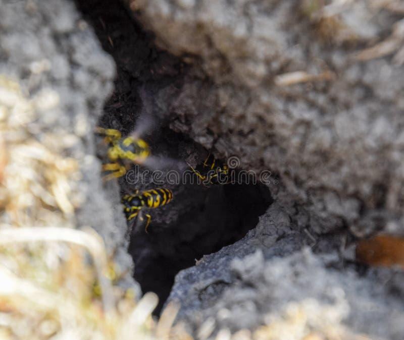 Getingar flyger in i deras redemink med en asp- redetunnelbana royaltyfri bild