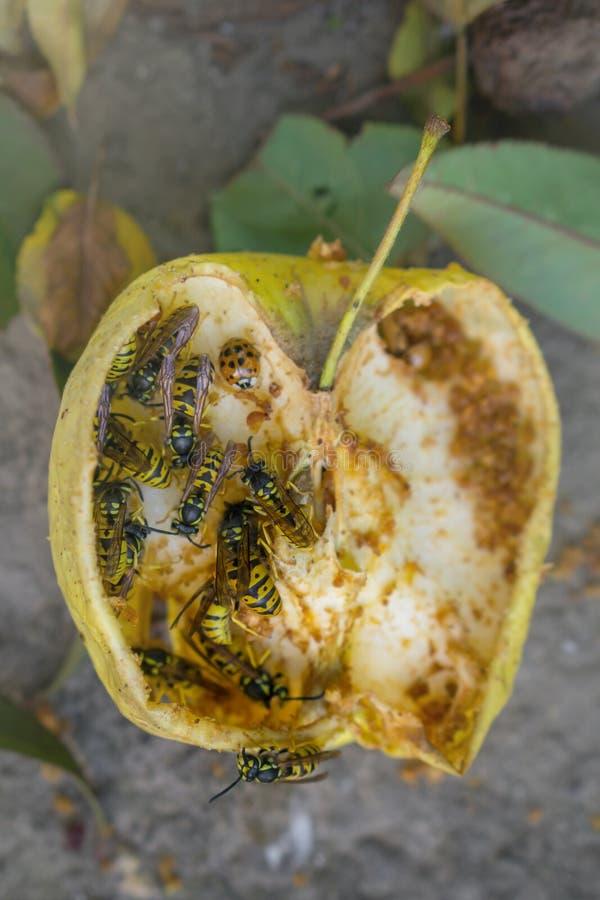 Getingar och nyckelpigan äter det stupade gula äpplet Torrt äpple på jordningen royaltyfri foto