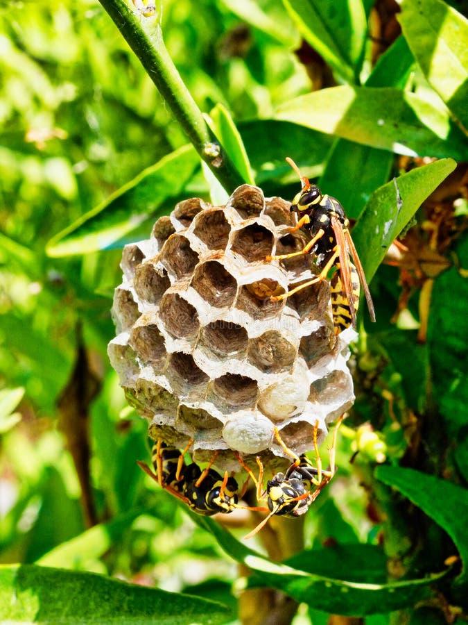 Getingar som ansar redet med att mogna larver som är synliga i en öppen cell royaltyfria foton