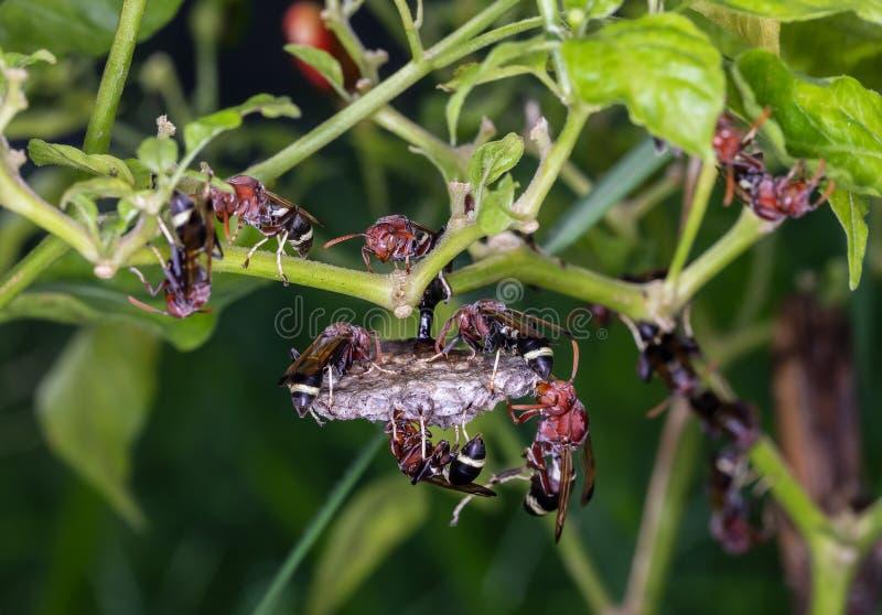 Getingarna gör ett rede för embryo på kyligt träd fotografering för bildbyråer