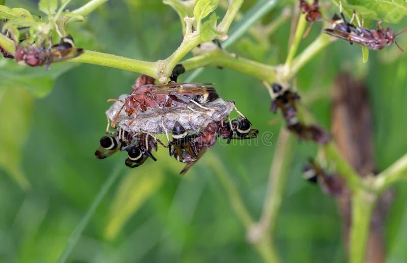 Getingarna gör ett rede för embryo på kyligt träd arkivfoto