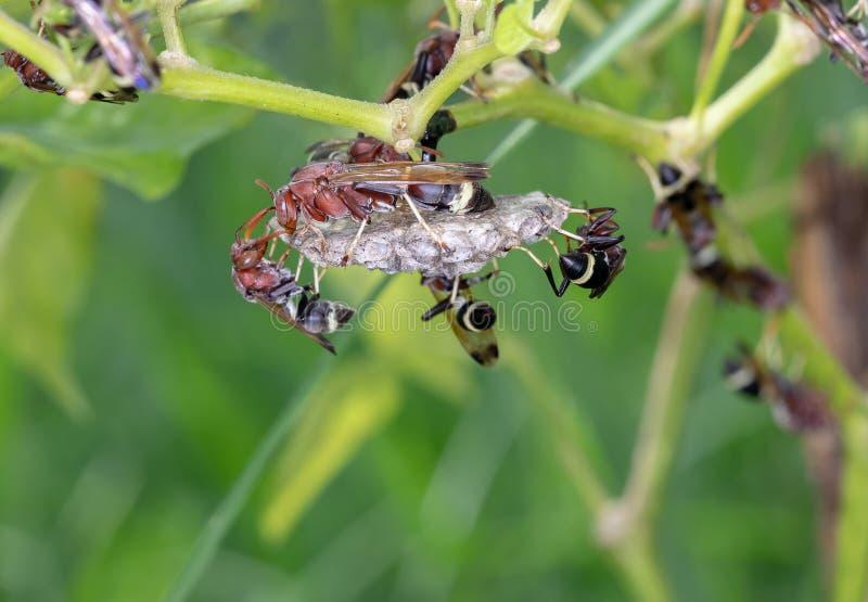 Getingarna gör ett rede för embryo på kyligt träd arkivbild