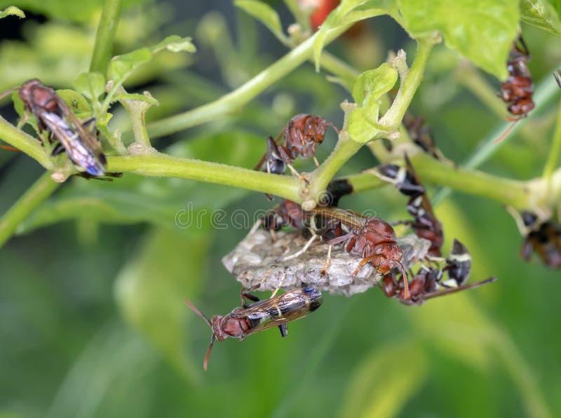 Getingarna gör ett rede för embryo på kyligt träd arkivbilder
