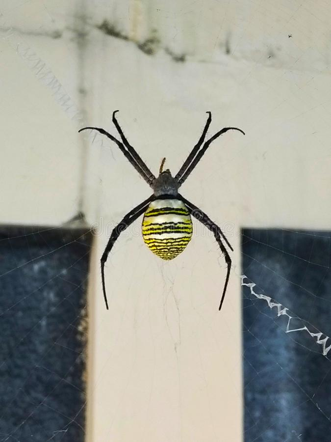 getingspindel med gula och svarta band på dess mage i dess rengöringsduk royaltyfria foton