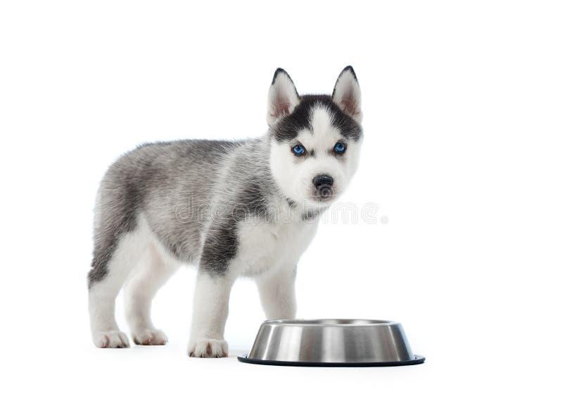 Getragener Welpe des Hundes des sibirischen Huskys stehend nahe silberner Platte stockfoto