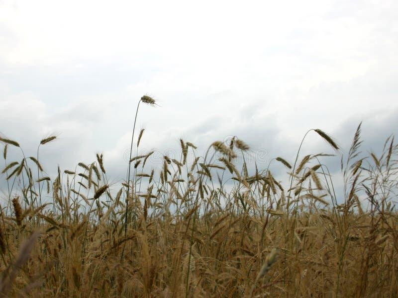 Getreide auf Wolken stockfotografie
