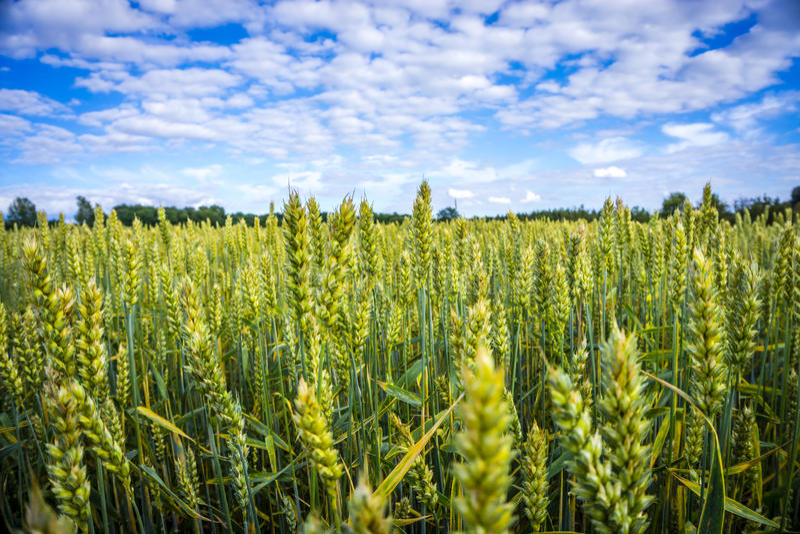 Getreide, die den Himmel zeigen stockfotos