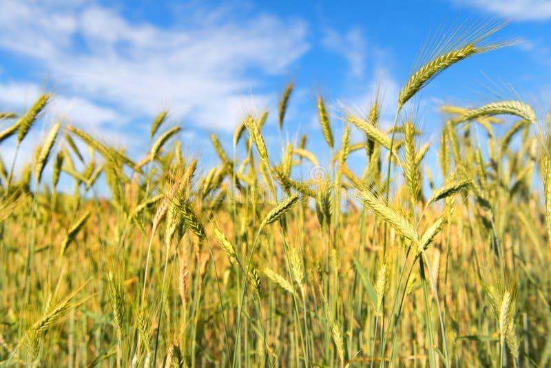 Getreide im Feld stockfoto
