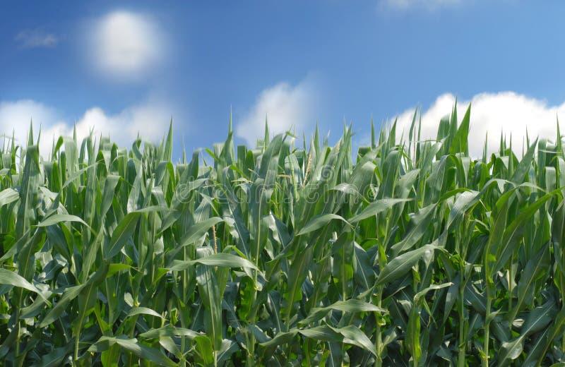 Getreidefeld gegen einen blauen Himmel stockbild