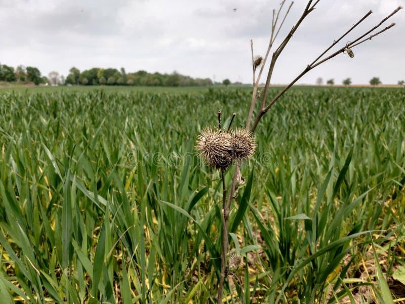 Getreidefeld mit Gast stockbild