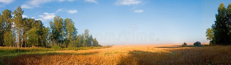 Getreidefeld morgens lizenzfreie stockfotos