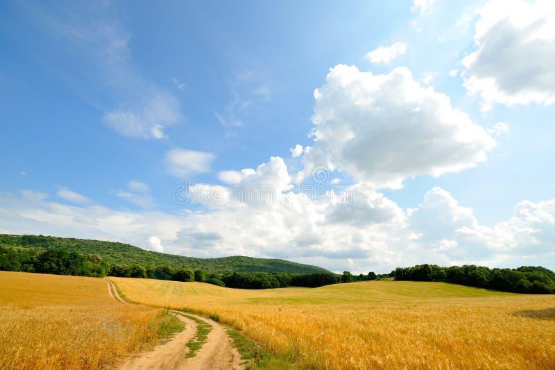 Getreidefeld am Sommer lizenzfreie stockbilder