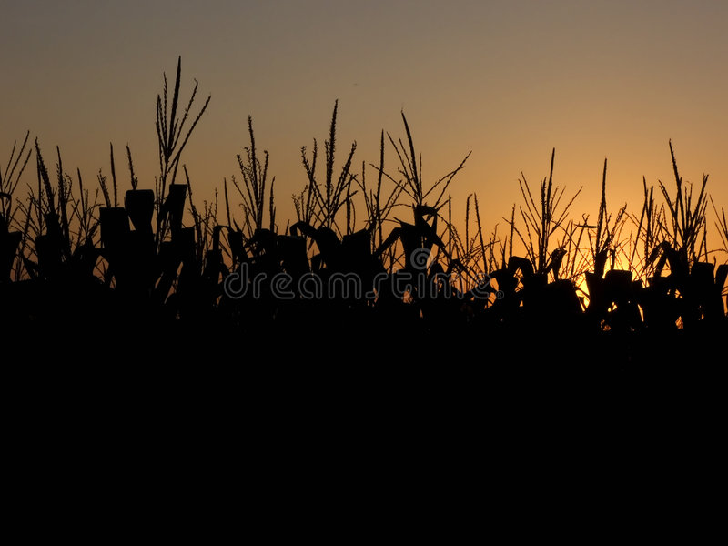 Getreidefeld am Sonnenuntergang stockfoto