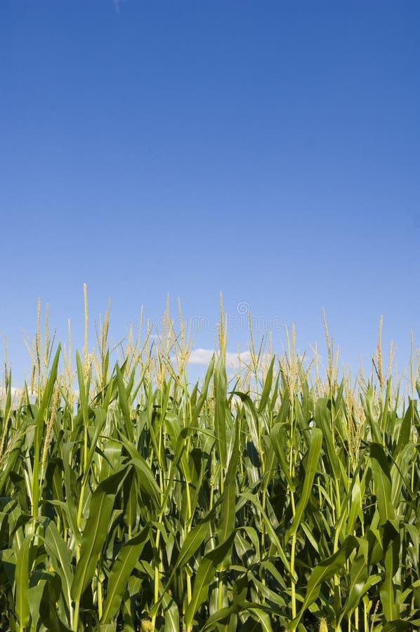 Getreidefeld und blauer Himmel stockbild