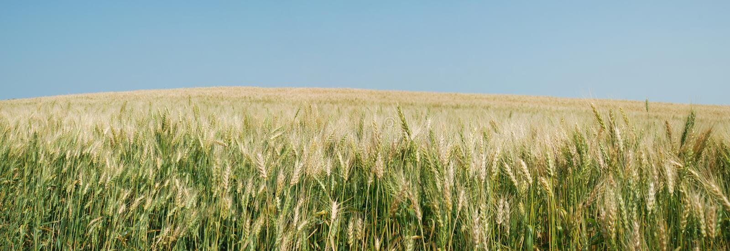 Getreidefeldpanorama stockfoto