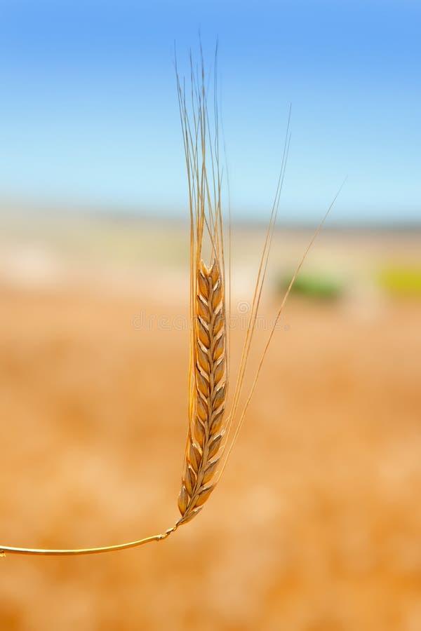 Getreidespitze auf dem goldenen Gebiet des Weizens lizenzfreies stockfoto