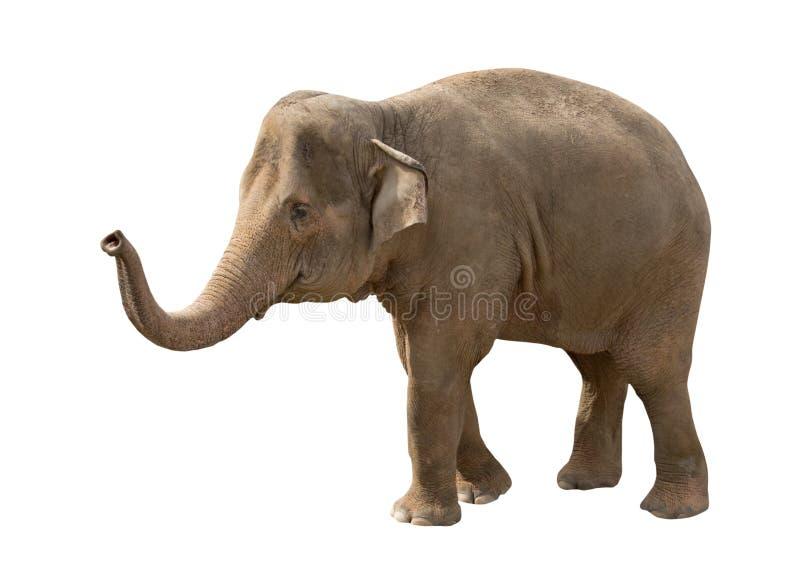 Getrennt auf weißem Elefanten lizenzfreie stockbilder