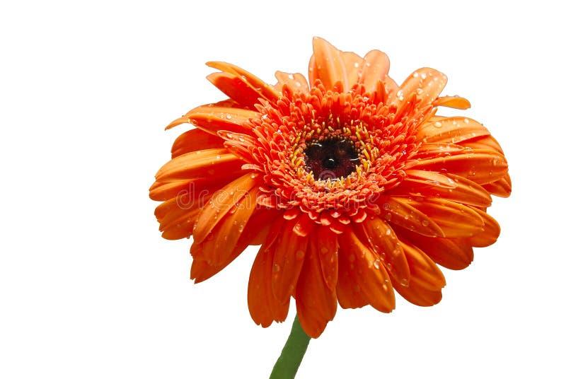 Getrennte Blume des orange Gänseblümchens lizenzfreies stockfoto