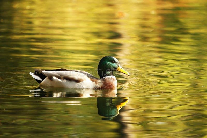 Getrennte Ente, die Herbst genießt lizenzfreie stockfotos