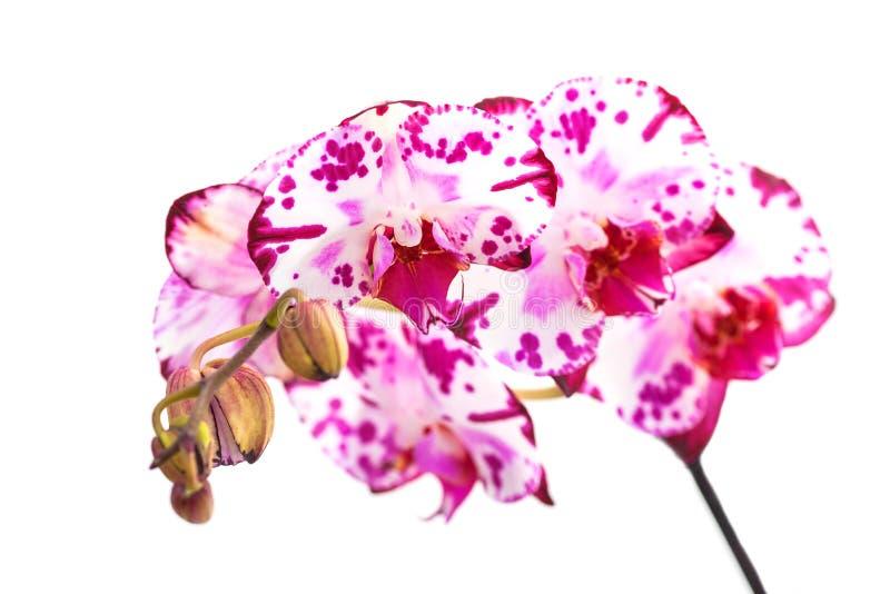 Getrennte rosafarbene Orchideen stockbild