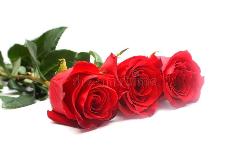 Getrennte rote Rosen stockfotografie