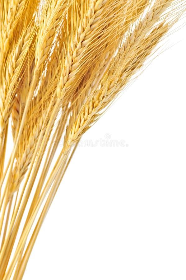 Getrennte Weizenohren stockfoto