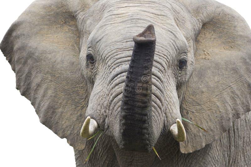 Getrennter afrikanischer Elefant lizenzfreies stockfoto
