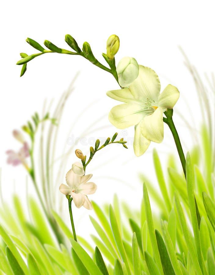 Getrennter Freesia im Gras stockfotos
