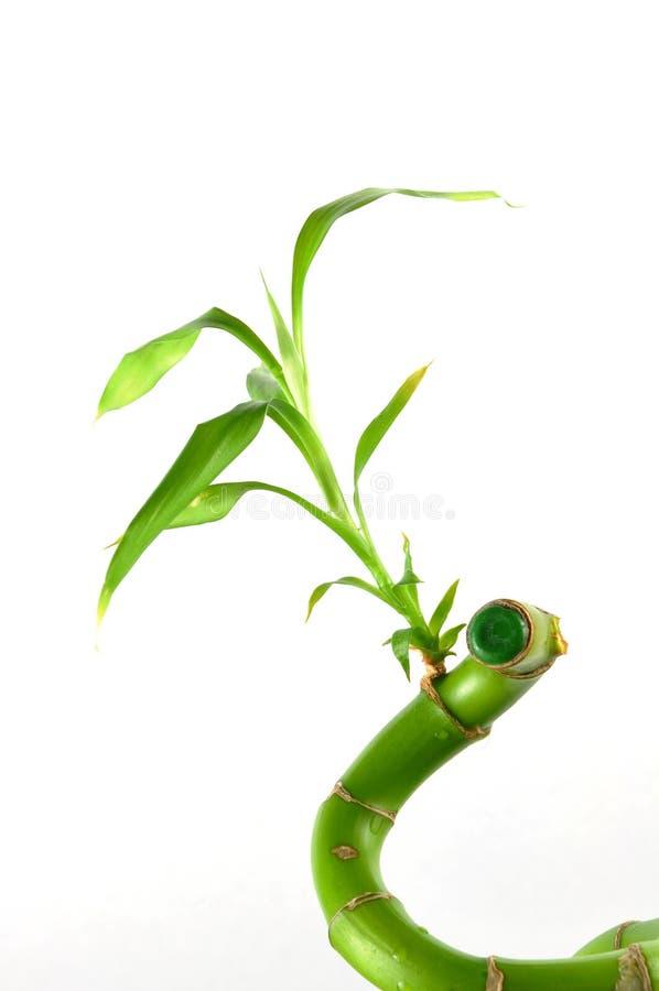 Getrennter glücklicher Bambus stockfotos