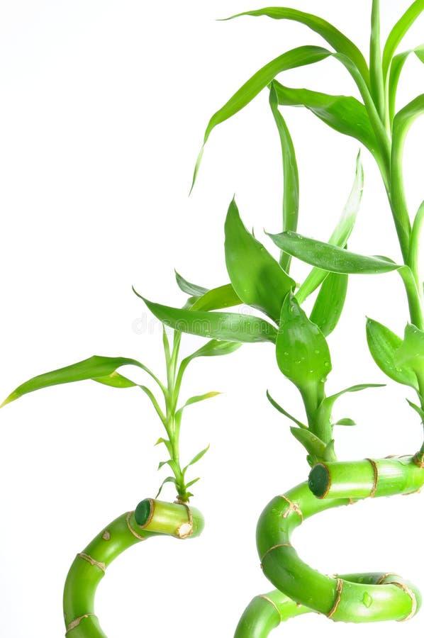 Getrennter glücklicher Bambus lizenzfreies stockfoto