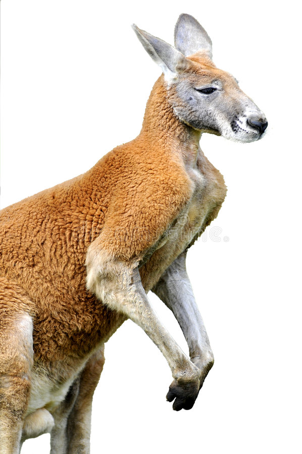 Getrennter roter Känguru stockfotos