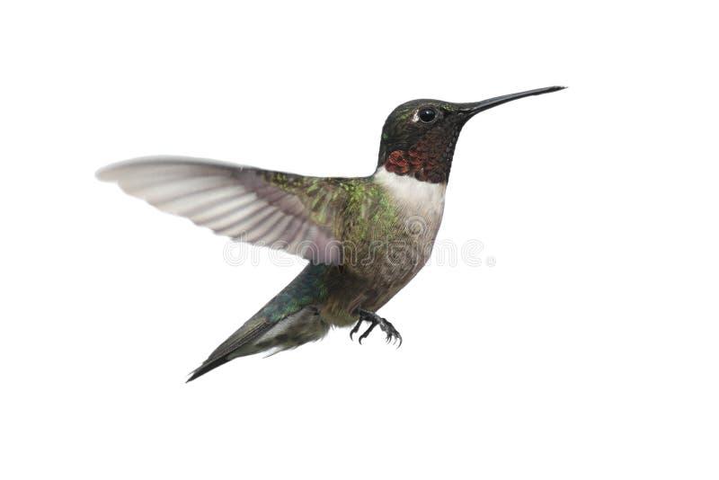 Getrennter Rubin-throated Kolibri stockfotografie