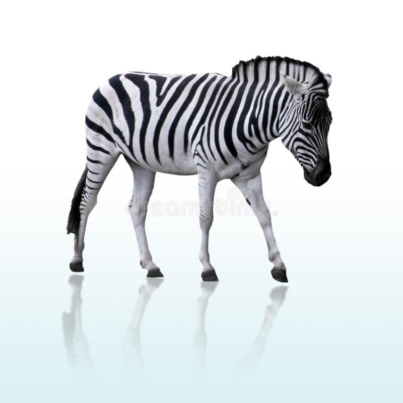 Getrennter Zebra lizenzfreies stockfoto