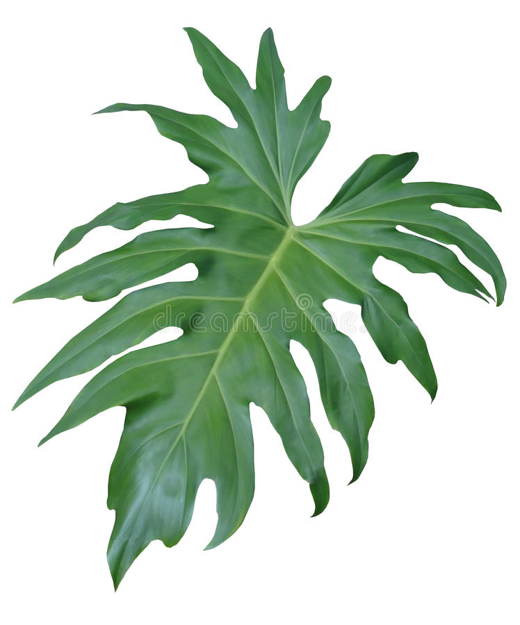 Getrenntes Dschungel-Blatt stockfoto