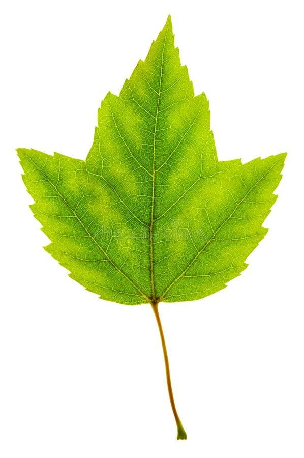 Getrenntes grünes Ahornblatt lizenzfreies stockbild