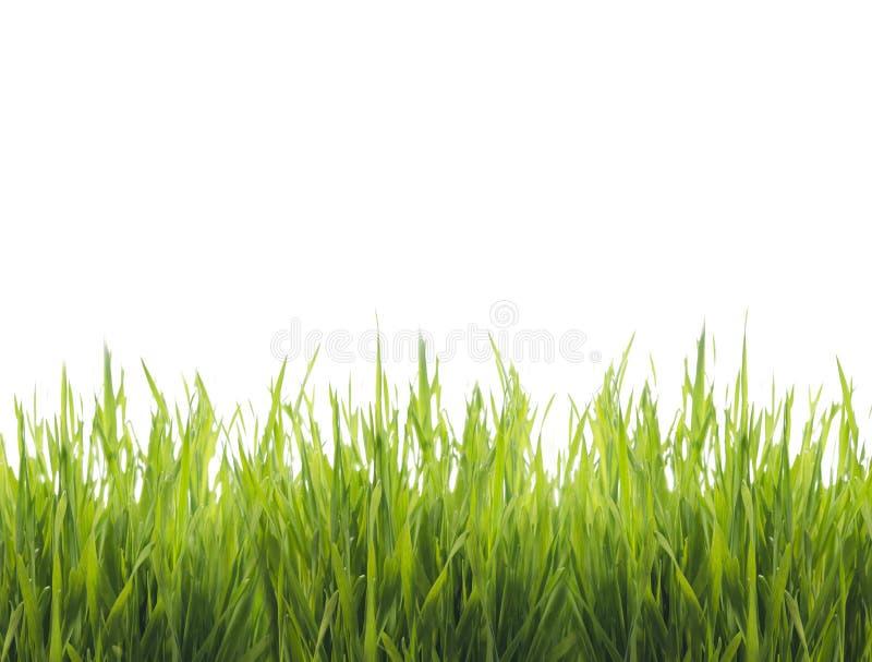 Getrenntes grünes Gras stockfotos