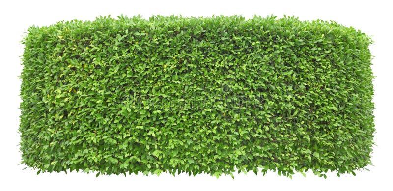 Getrimmte grüne Heckenwand lokalisiert auf weißem Hintergrund für Äußeres und Gartenentwurf lizenzfreies stockfoto