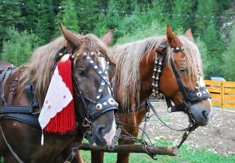 Getrimmte Pferde vorbereitet für traditionelle Hochzeit stockbild