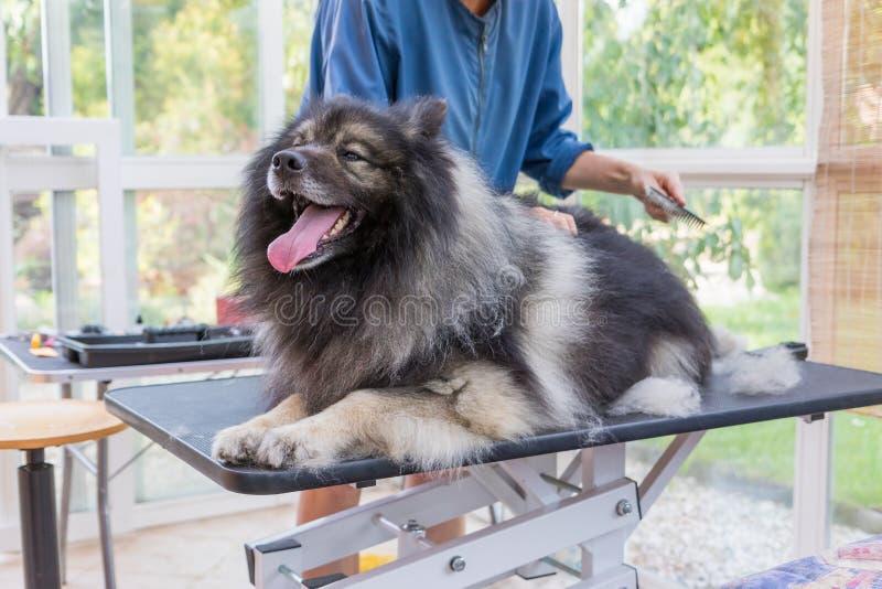 Getrimmter netter Wolf Spitz Dog, der auf dem Tisch liegt lizenzfreies stockbild