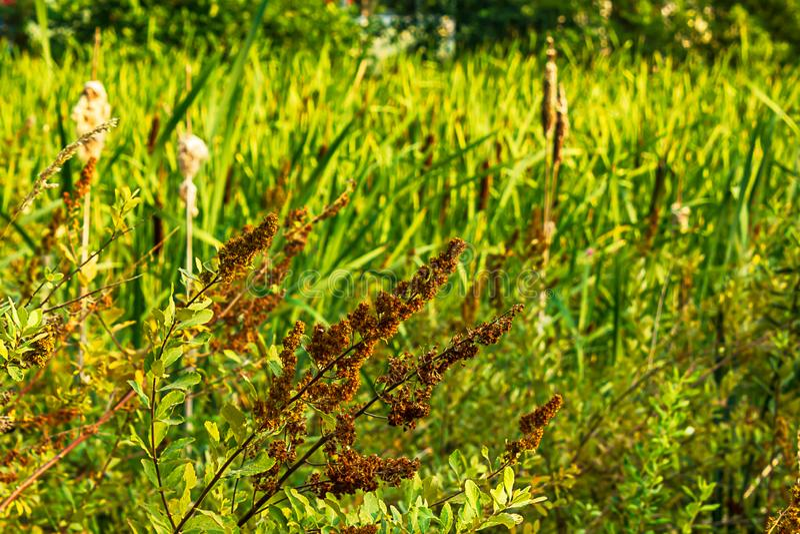 getrocknete Bündel Blüte auf einem Schmetterlingsbusch am Ende des Sommers lizenzfreie stockfotografie