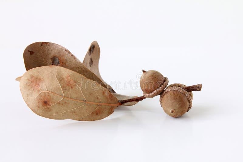 Getrocknete Eichel mit Blättern stockbild