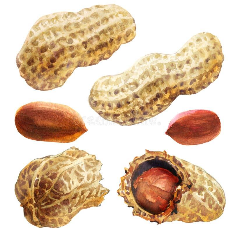 Getrocknete geschälte Erdnüsse und gebrochene Erdnüsse, rohe Erdnuss, organische Nuss lokalisiert, Handgezogene Aquarellillustrat lizenzfreie stockbilder