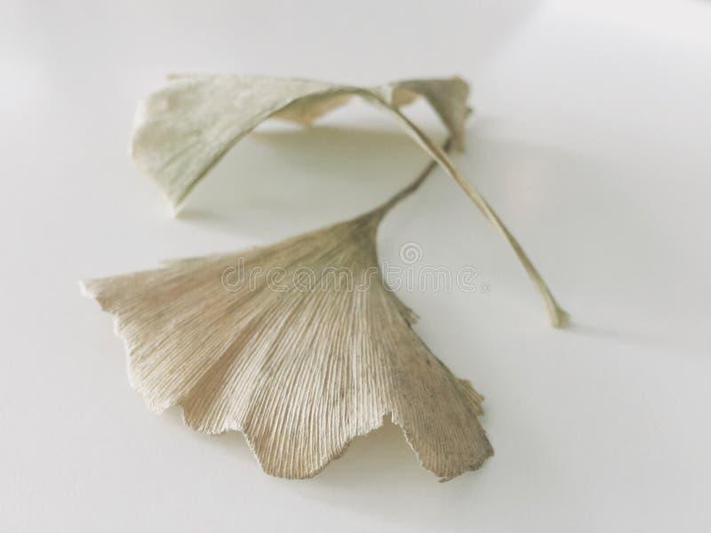Getrocknete Ginkgoblätter stockbild